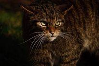 Cận cảnh loài mèo rừng quý hiếm nhất thế giới