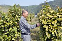 Trà hoa vàng - cây trồng giá trị kinh tế cao