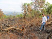 Gia Lai: Dân bức xúc, tàn phá rừng gỗ sao 10 năm tuổi