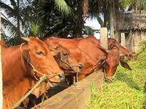 Hà Tĩnh: Dự án chăn nuôi bò lớn nhất tỉnh đi vào hoạt động