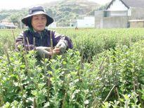 """""""Hoa cúc Ninh Giang"""" là nhãn hiệu hoa đầu tiên tại Khánh Hòa"""