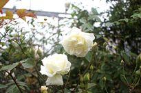 Vẻ đẹp 'khó cưỡng' của cây hoa hồng cổ Sapa giá 50 triệu