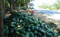 6.000 tấn dưa hấu chưa có nơi tiêu thụ