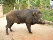Lợn nhà Phó chủ tịch huyện sổng chuồng tấn công người dân