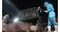 'Sốc' tồn dư chất cấm trong thịt lợn gấp 4.700 lần cho phép
