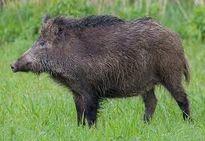 Thanh Hóa: Lợn rừng tấn công, 1 người nhập viện