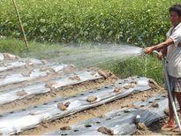 Đưa cây màu xuống ruộng lúa, người Khmer thu nhập gấp bốn