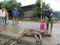 Yên Bái: Gia súc chết hàng loạt