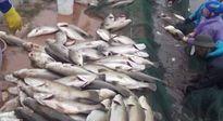 Thái Bình: Cá chết trắng ao, ước có xe chở ra Hà Nội để bán