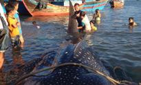Đưa xác cá nhám voi hơn tấn vào Viện Hải dương học Nha Trang