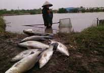 Hàng nghìn tấn cá vược chết rét, người dân Thái Bình kêu cứu