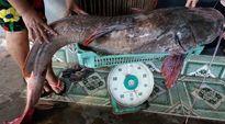 """Hơn 2 giờ vật lộn bắt cá lăng """"khủng"""" dài 1,7m"""