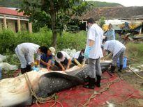 Đưa cá nhám voi về phục vụ công tác nghiên cứu và trưng bày