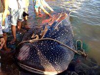 Lần đầu thực mục sở thị cá voi có trong 'sách đỏ' trên bờ biển Khánh Hòa