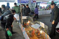 Hà Nội: Ngắm 3 giống gà tiến vua ở chợ Xuân Bính Thân 2016