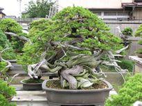 """Những chậu bonsai """"khủng"""" khiến dân chơi thích mê"""