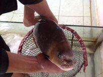 Mục sở thị cá tiến vua quý hiếm 10 triệu/kg ở Hà Nội