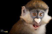 Đẹp tuyệt mỹ chùm ảnh chụp loài linh trưởng hoang dã