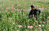 Vấn nạn cây thuốc phiện tại Myanmar