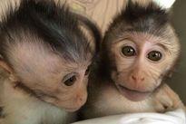 Trung Quốc tạo khỉ chuyển gen bị bệnh tự kỷ