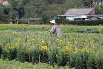 Nông dân ở Thừa Thiên - Huế thua lỗ vụ hoa Tết