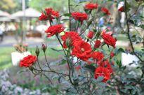 Cận cảnh gốc hồng trên 25 năm tuổi nở hoa đón Tết