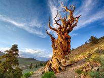 10 cây cổ thụ có tuổi thọ cao nhất thế giới