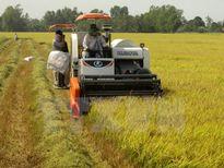 Nông dân trúng mùa, trúng giá vụ thu hoạch lúa Đông Xuân sớm