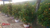 Hà Nội: Đào, quất ngày 29 Tết tụt giá thê thảm, có nơi 'đại hạ giá'