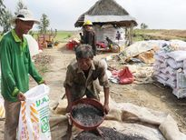 Khi nông dân làm ngoại giao, giúp nhau trồng lúa