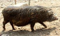 Chuyện lợn đeo gông khổng lồ đón tết của người Mông