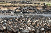 Ngựa vằn trốn kỹ giữa bầy linh dương đầu bò hàng nghìn con