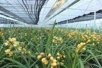 Lào Cai: Thung lũng hoa thu hàng tỷ đồng trong dịp Tết Bính Thân
