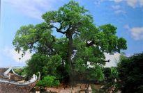 KỲ TÍCH: Nhân giống 'cụ' Dã hương 1.000 năm tuổi về trồng