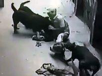 Nguy cơ chết người từ việc nuôi chó dữ