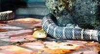 Tận thấy 4 con rắn hổ chúa 'khủng' nhất trại rắn miền Tây