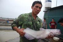 Cá nheo Mỹ dậy sóng sông Kinh Thầy