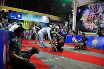 Ngắm những chú chó Bully giá nghìn đô trong cuộc thi dog show ở Sài Gòn