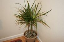 Trồng cây gì trong nhà để hút sạch bức xạ, khói thuốc...!