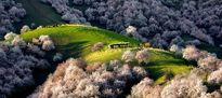 Sững sờ với vẻ đẹp của thung lũng hoa mơ ở TQ