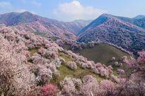 Thảm hoa bung nở đẹp như mơ nơi thung lũng xa xôi