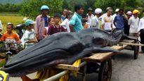 Cá voi được chôn cất thế nào?