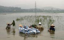 Hàng trăm héc ta lúa ở huyện Quốc Oai bị ngập: Phải có phương án ứng phó thích hợp