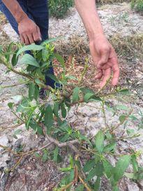 Khách hàng tố thuốc diệt nhện Syngenta làm hỏng cây