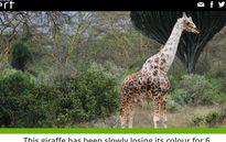 Kỳ lạ chú hươu cao cổ bị mất dần màu da