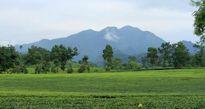 Phú Thọ: Phát triển cây chè, nâng cao hiệu quả kinh tế nông thôn