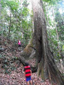 Phát hiện ra loài cây nhiệt đới cao nhất thế giới