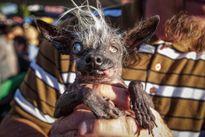 Chú chó xấu nhất thế giới 'ẵm' 33 triệu đồng tiền thưởng