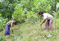 Điều kiện để vốn vay trồng rừng sản xuất?
