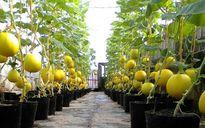 Phát sốt vườn dưa vàng trĩu quả trên... nóc nhà